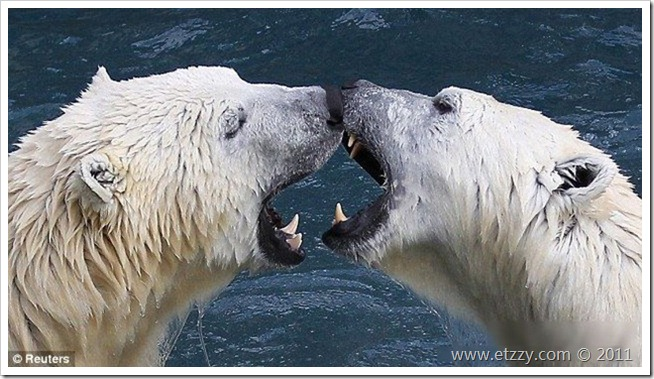 魁北克动物园的北极熊在冰雪中玩乐